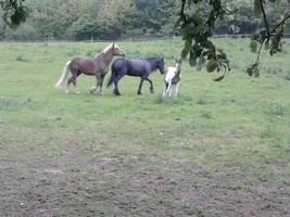 Pferde_auf_der_Koppel